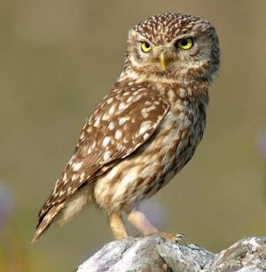The owl—unique and perfect design: Evidence of Design in The Creation